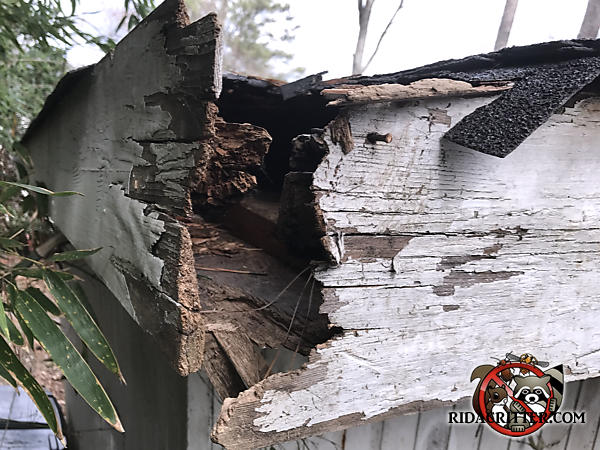 The shingles, sheathing, and fascia at the corner of the house were damaged by water and then torn away by a raccoon