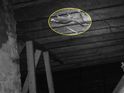 An infrared picture of a rat walking upside-down on a floor joist