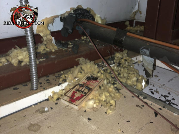 Rat snap trap set up amidst rat droppings and shredded insulation in the kitchen of a restaurant in Douglasville Georgia.