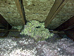 Rats nest in an attic, surrounded by insulation