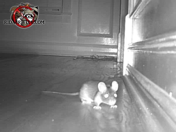 Night vision photo of a young roof rat on a hardwood floor in a house in Atlanta