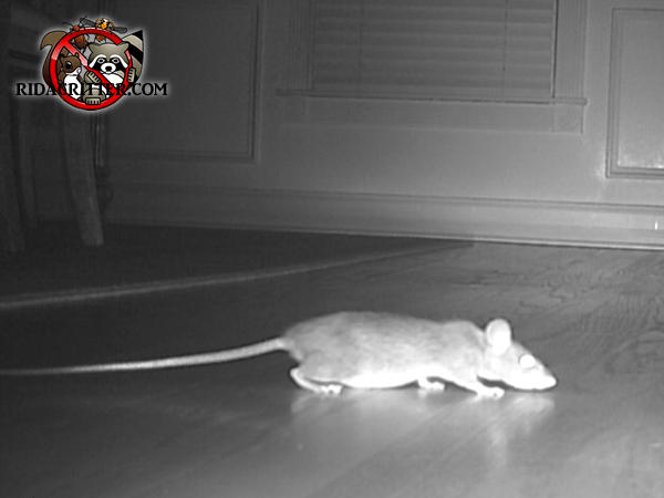 Night vision picture of a roof rat on the interior floor of a house in Atlanta