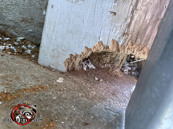 Rat hole about the size of a quartered grapefruit chewed through the bottom of the wooden garage door frame of a Marietta Georgia home.