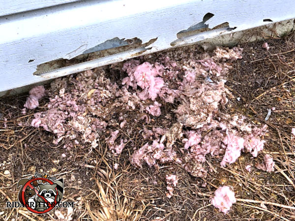 Rat burrow into a house in Johns Creek Georgia with tufts of fiberglass insulation in the soil around the burrow