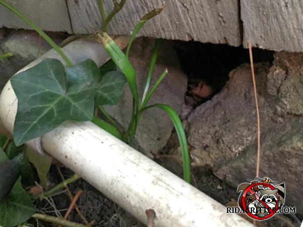 Gap in the stone foundation of a house in Marietta Georgia where a pipe passes through allowed rats into the house