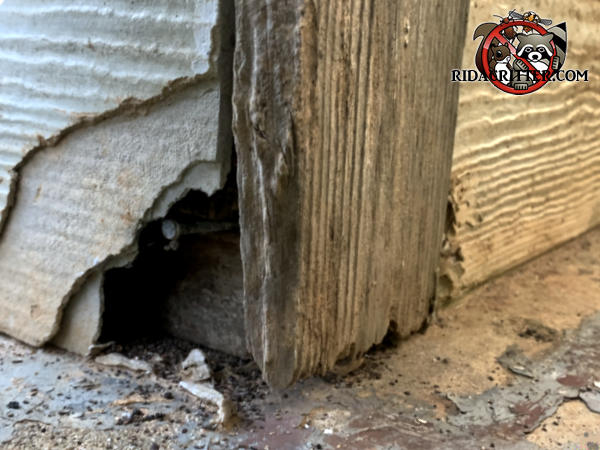 Norway rat chewed through the asbestos siding at the corner of a house in Atlanta