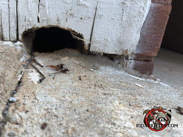 Dome shaped Norway rat hole gnawed through the bottom of the wood siding of a house in Duluth Georgia