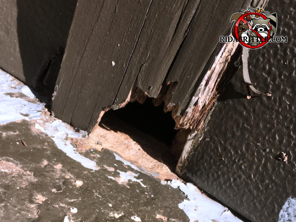 Rat hole chewed through the bottom of exterior wooden trim and into a house in Johns Creek Georgia
