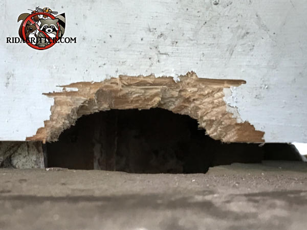 Arch shaped Norway rat chew hole in the siding of a house in Marietta Georgia