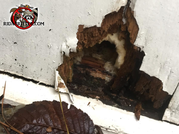 Rat hole gnawed through the water damaged exterior wood of a house in Roswell Georgia