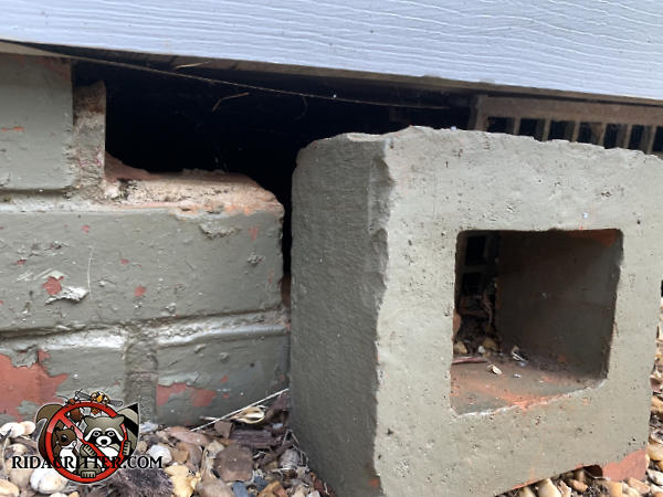 The top brick is missing from the foundation of a house in Atlanta which allowed Norway rats to get into the crawl space