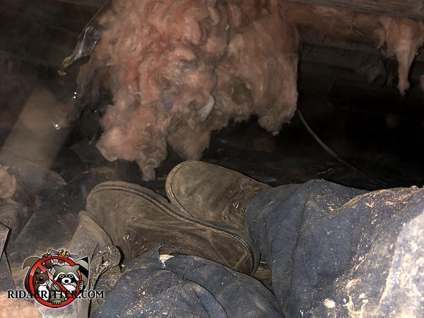 A rat exterminators boots under a large tuft of insulation hanging from the joists in the tight crawl space of a house in Albany Georgia.
