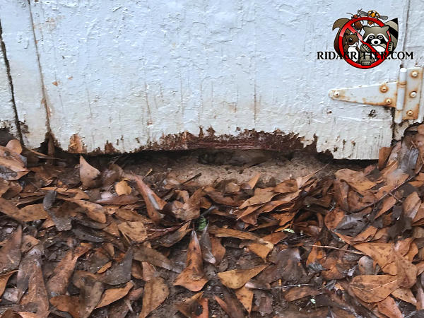 Rats gnawed a section from the bottom of a plywood crawl space door to get into the crawl space of a house in Atlanta