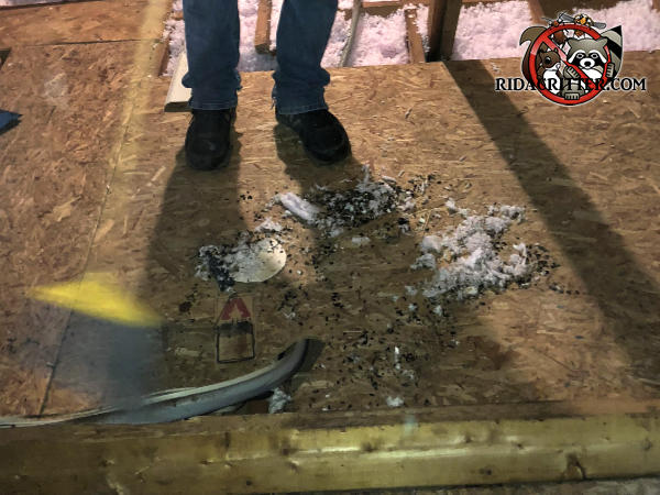 Pile of rat droppings being swept up by a rat exterminator in the attic of a house in Marietta Georgia