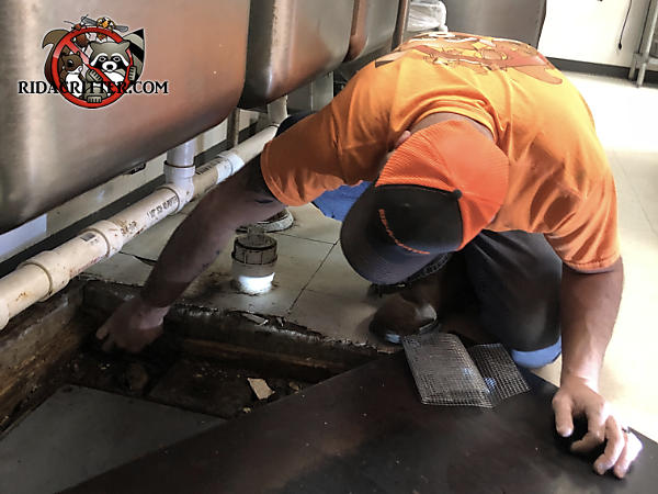 Technician on his knees near the sink sealing rats out a commercial kitchen grease trap in Birmingham Alabama