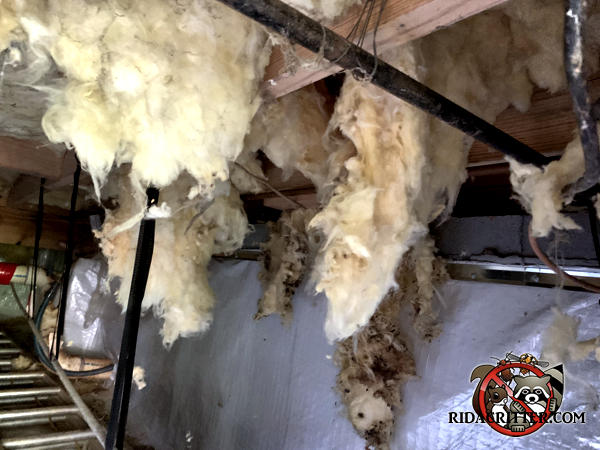 The insulation between the joists is filthy and hanging down due to Norway rats that were running on top of it.