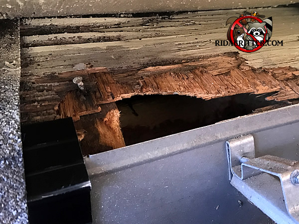 Rat Removal And Rat Proofing Columbia Amp Aiken Sc
