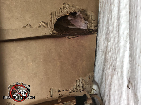 Norway rats chewed holes through the corners of cardboard cartons stacked on shelves inside a warehouse in Atlanta