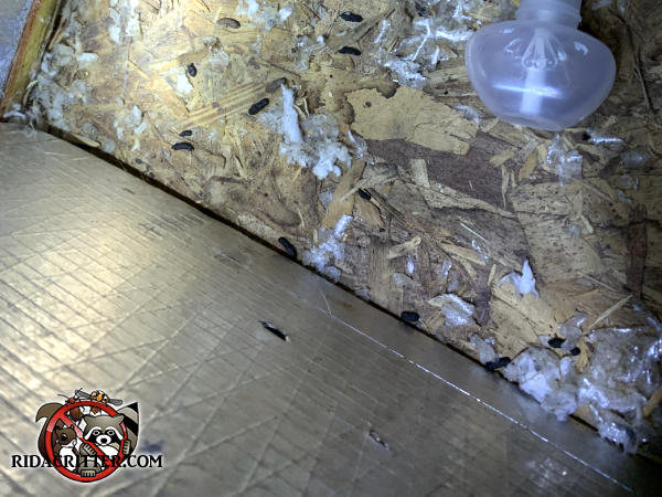Rat droppings on the plywood floor of the attic of a house in Acworth Georgia