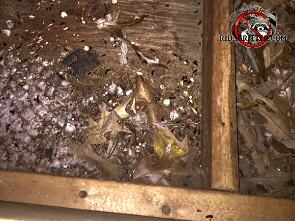 Rat droppings and bits of insulation and leaf litter on the plywood floor of the attic of a house in Palmetto Georgia