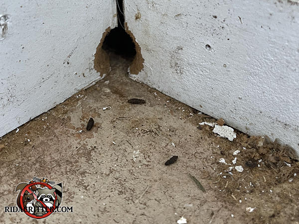 Norway rat droppings and a rat hole gnawed through the corner wall in the garage of a house in Warner Robins Georgia.