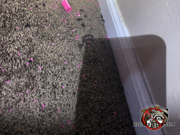 Rat droppings on the carpet next to the wall in a house in Hoover Alabama.