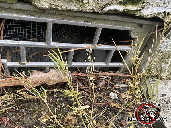 The screening behind the foundation vent was not properly attached and the rats simply pushed it aside