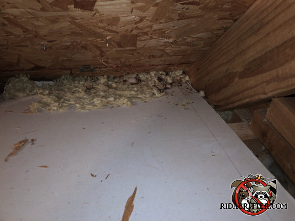 Insulation with rat droppings and acorn shells swept toward the eaves in the attic of a house in Atlanta