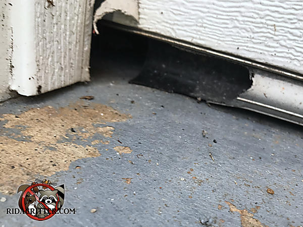 Rats chewed the end of the garage door weather seal to get into the garage of a house in Alpharetta Georgia