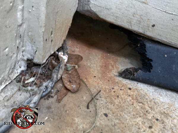 About two inches of the left end of the weather seal of the garage door of a house in Atlanta has been chewed away by rats so they could get into the garage.
