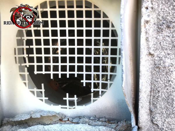 Rats gnawed the hood flange and the lattice of a plastic dryer vent to get into a house in Valdosta Georgia