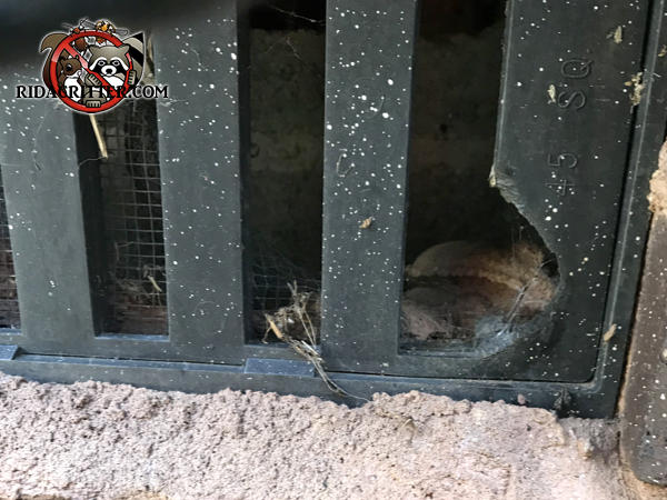 A rat started with the vertical slot in a plastic foundation vent and gnawed its way into a house in Atlanta