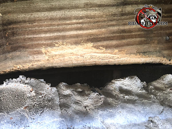 Rat gnaw marks on a wooden timber right over the stucco foundation of a house in Stone Mountain Georgia
