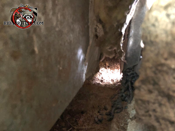 Interior view of a rat burrow under the wall and into the crawl space of a house in Bogart Georgia