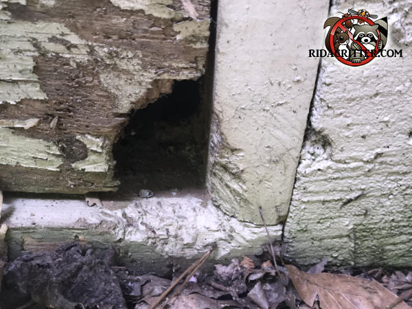 Rat chew hole though the corner and wooden frame of a plywood door to the crawl space of a house in McDonough Georgia