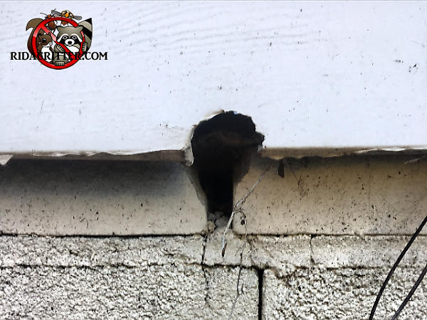 A Norway rat gnawed a hole through the sill plate and the siding to get into a house in Atlanta