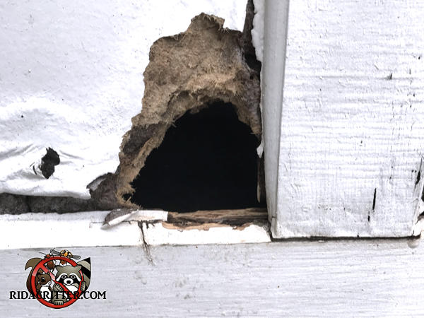 Rat chewed a hole through a wooden garage door at a house in Macon Georgia