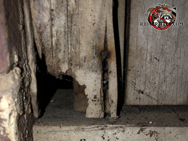 Norway rat hole through a wooden door frame and into a house in Hoover Alabama