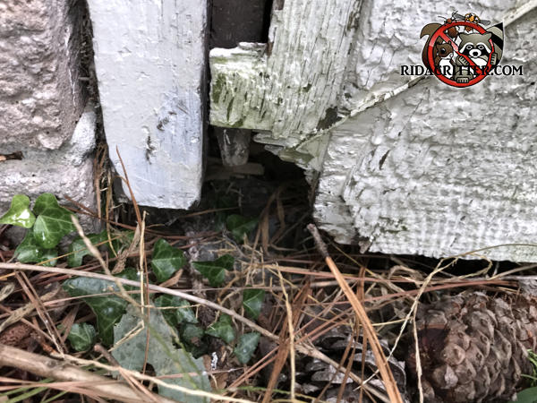Norway rat hole in the corner of a wooden crawl space door at a house in Conley Georgia
