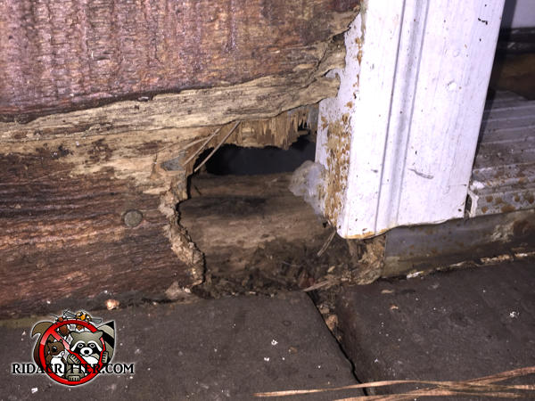 Rat chew hole through the wooden exterior of a house in Dunwoody next to the bottom of the door frame