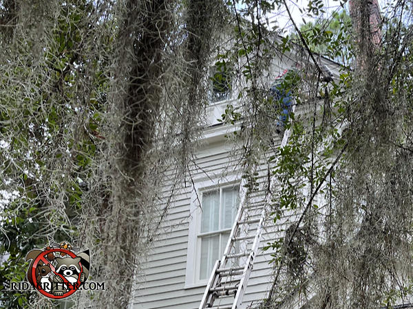 Man on a ladder somewhat hidden by trees while non-chemically excluding roof rats from the attic of a house in Atlanta.