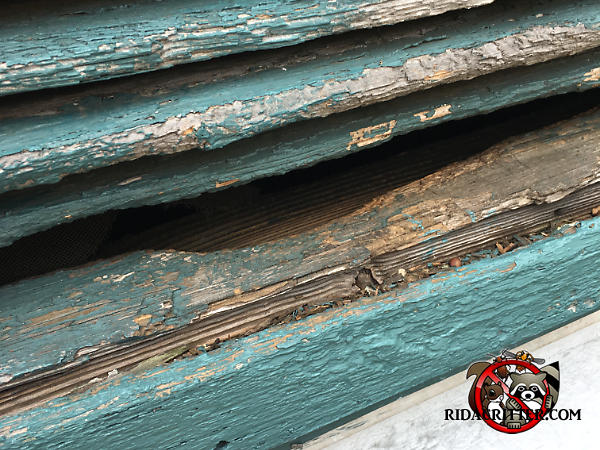 Rat gnawing of a wooden slat of a gable vent in Chattanooga Tennessee is discolored due to rats going through the gap to get into the attic of the house
