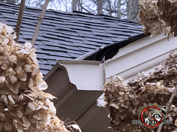 Gap between the roof trim and the shingles that allowed rats to get into a house in Winder Georgia