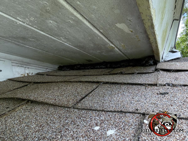 Thick sealant applied to a gap between the soffit and the shingles at a roof junction at a Tifton Georgia rat removal and exclusion job.