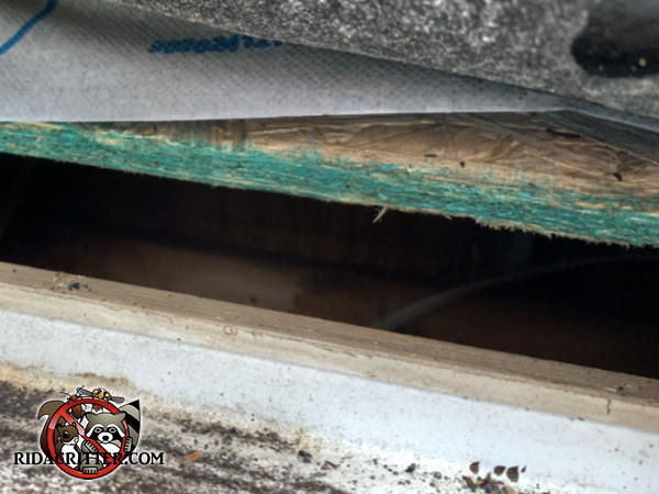 Inch and a half gap in the edge of the roof sheathing that allowed roof rats to get into the attic of a house in Alpharetta Georgia