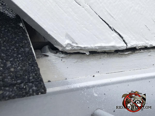 Triangular gap between the painted wooded roof trim and the shingles at a roof junction that allowed roof rats to get into the attic of a house in Chattanooga