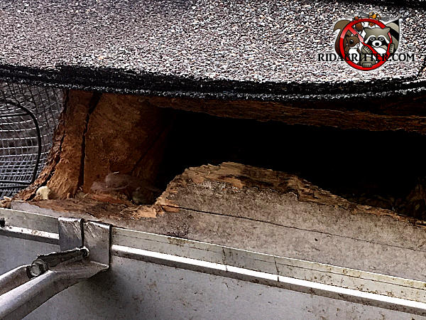 Roof rat hole chewed through the wooden fascia of a house in Chattanooga has heavy stains and rub marks on and around it