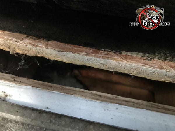 One inch gap between the roof sheathing and the fascia that allowed rats to get into the attic of a house in Dallas Georgia