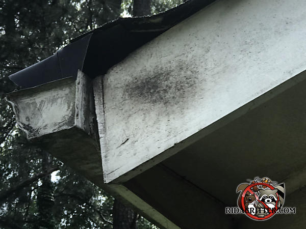 Roof rats got into a house in Decatur Georgia through a gap under a shingle behind the rain gutter