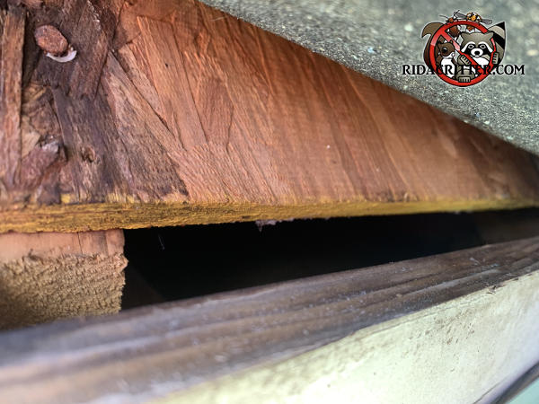 One inch gap at the edge of the roof sheathing that allowed rats into the attic of a house in Duluth Georgia
